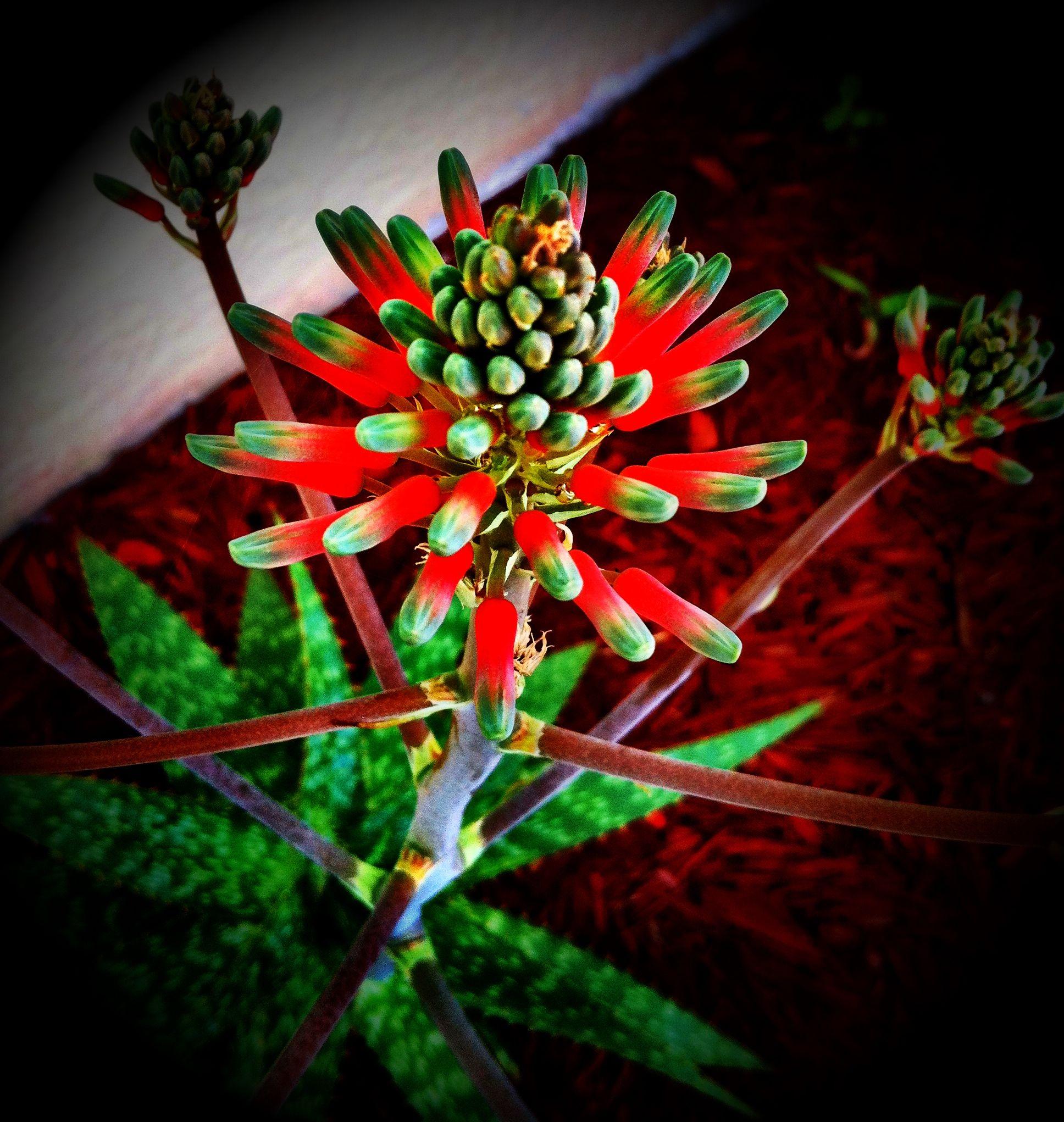 Aloe Vera Aloe Plant Aloe Plants