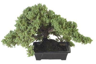 What Causes My Juniper Bonsai To Turn Brown Juniper Bonsai Bonsai Tree Care Bonsai Tree