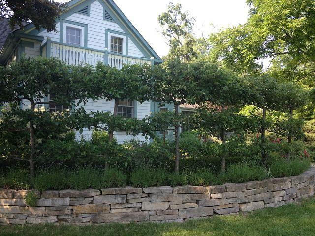 Espaliered Apple Trees - A living fence. Pleaching. Cordon ...