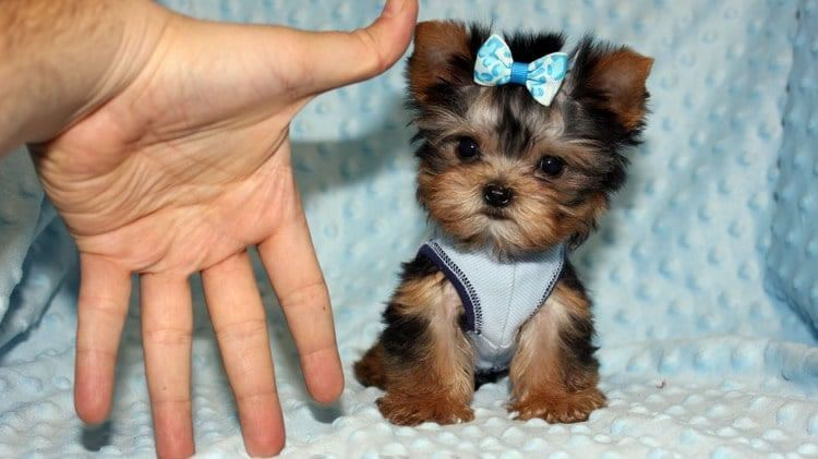 Cool Teacup Yorkie Puppy The Mini Yorkshire Terrier Yorkies