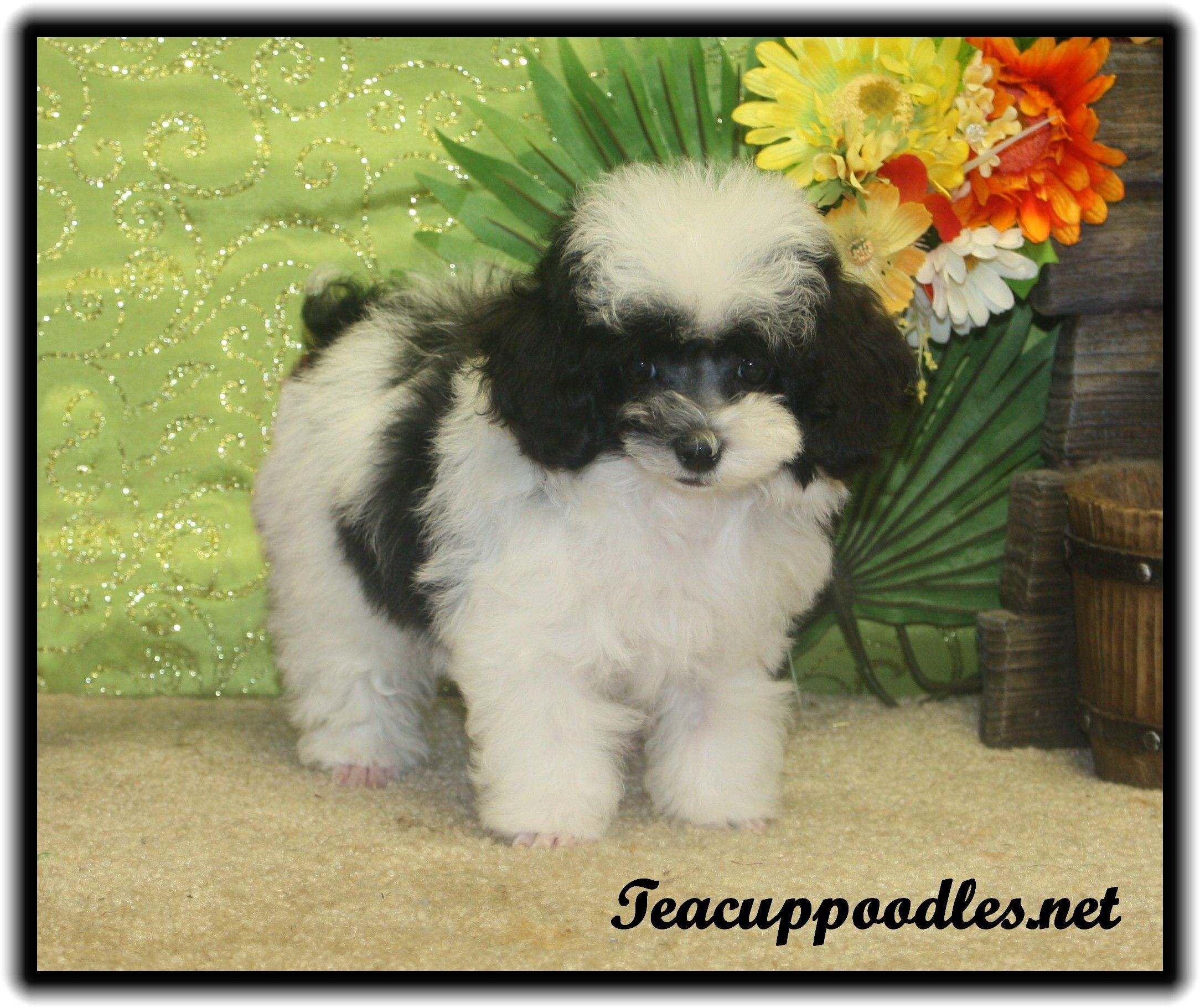 Black And White Teacup Poodle This Is What My Lucy Looks Like