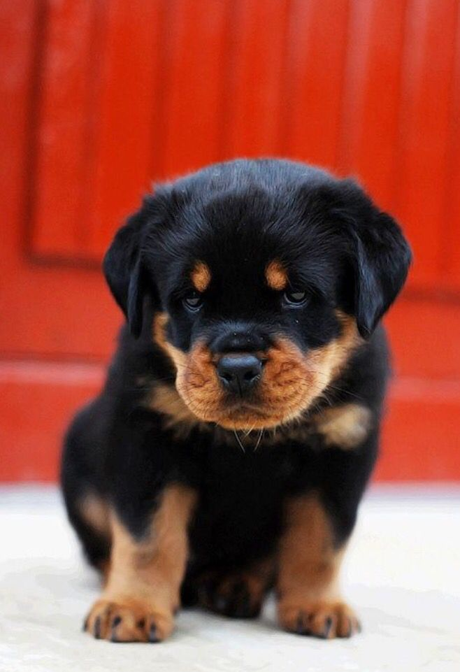 Liam A Male Akc Rottweiler Puppy For Sale From Grabill In