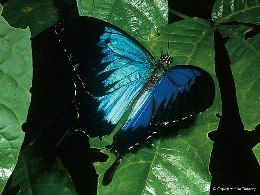 The Ulysses butterfly has become the symbol for Dunk Island