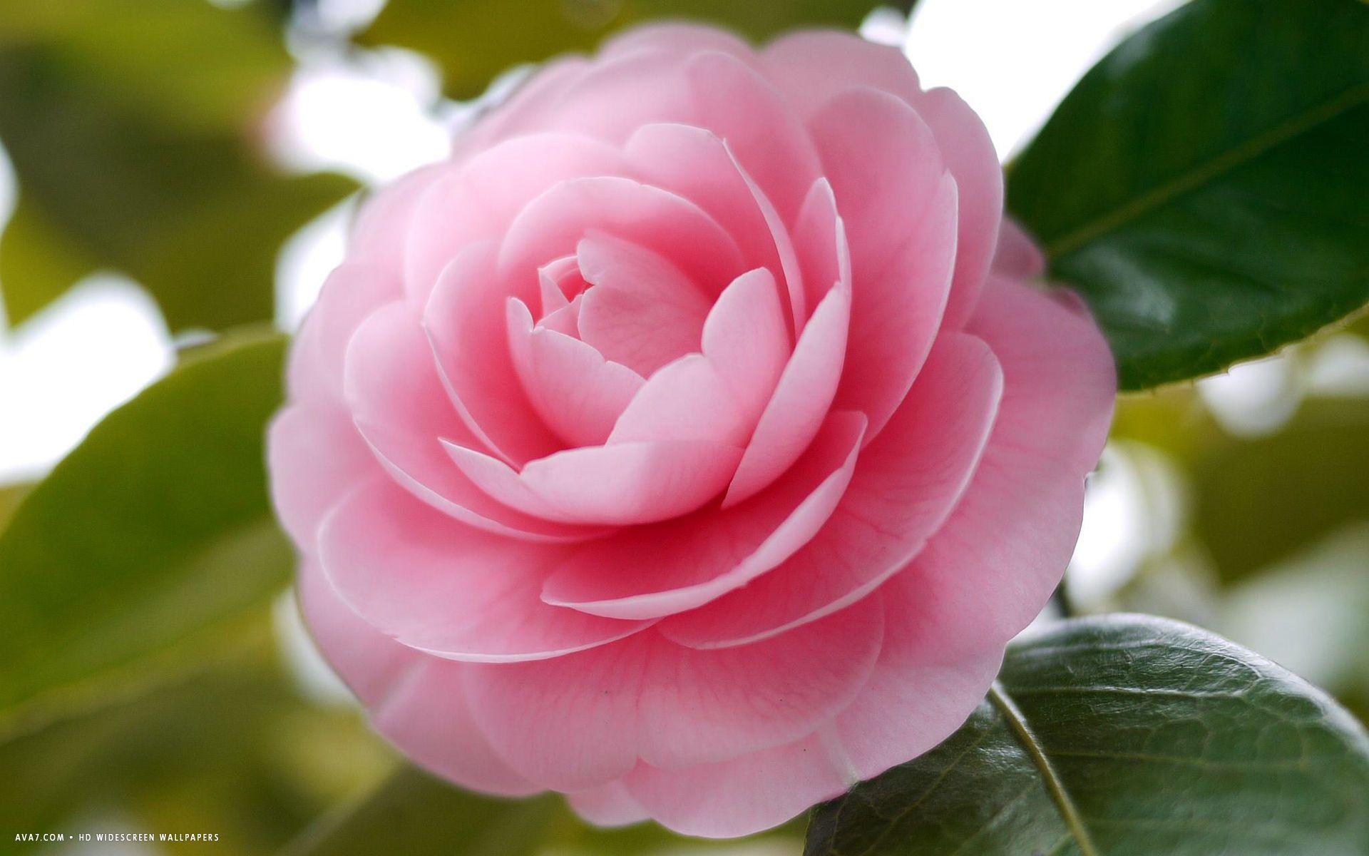 Camellia Flower Hd Widescreen Wallpaper Flowers Art Inspiration