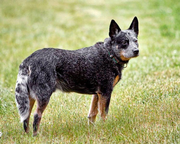 Australian Cattle Dog (Blue)