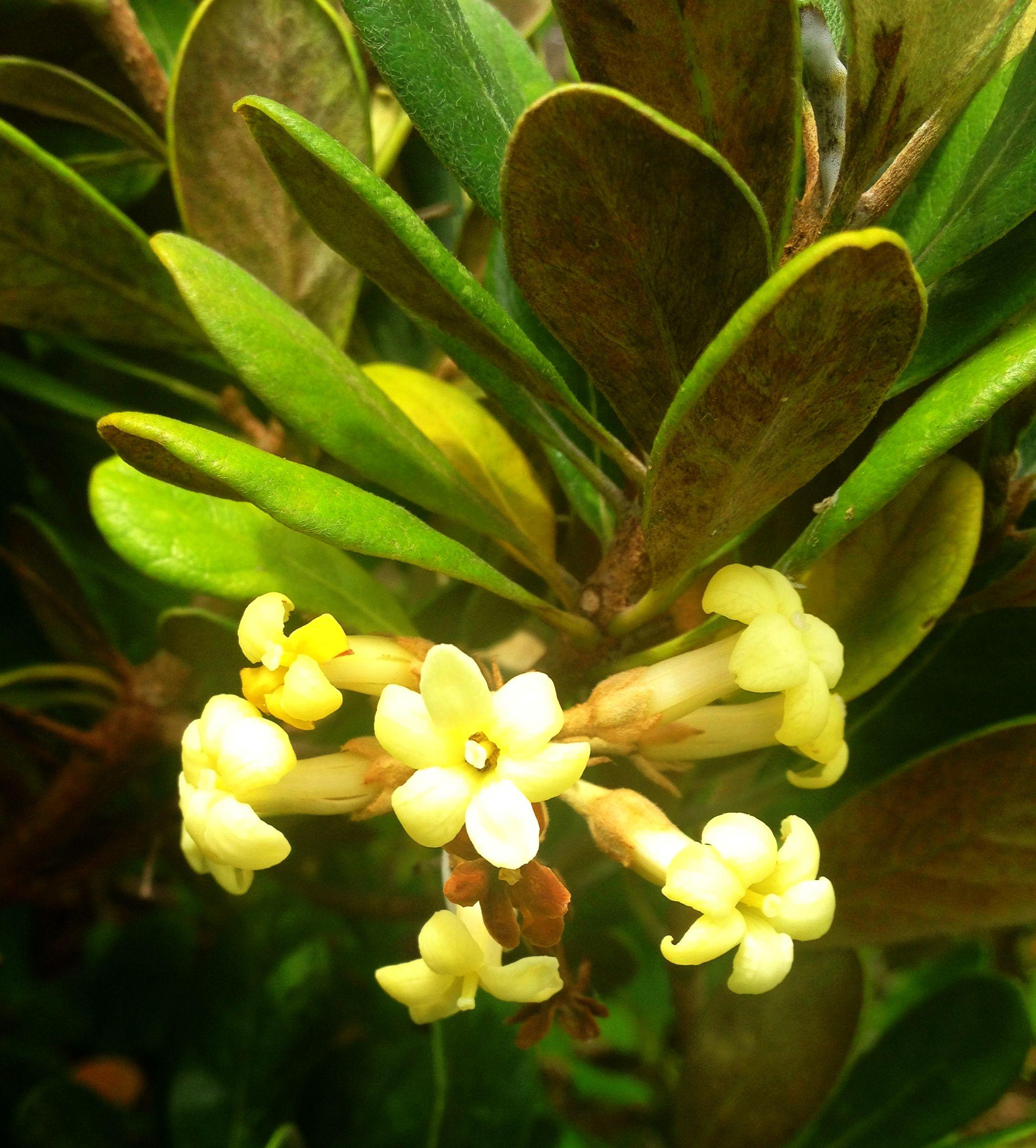Hawa Pittosporum Halophilum Endangered Species From Molokai