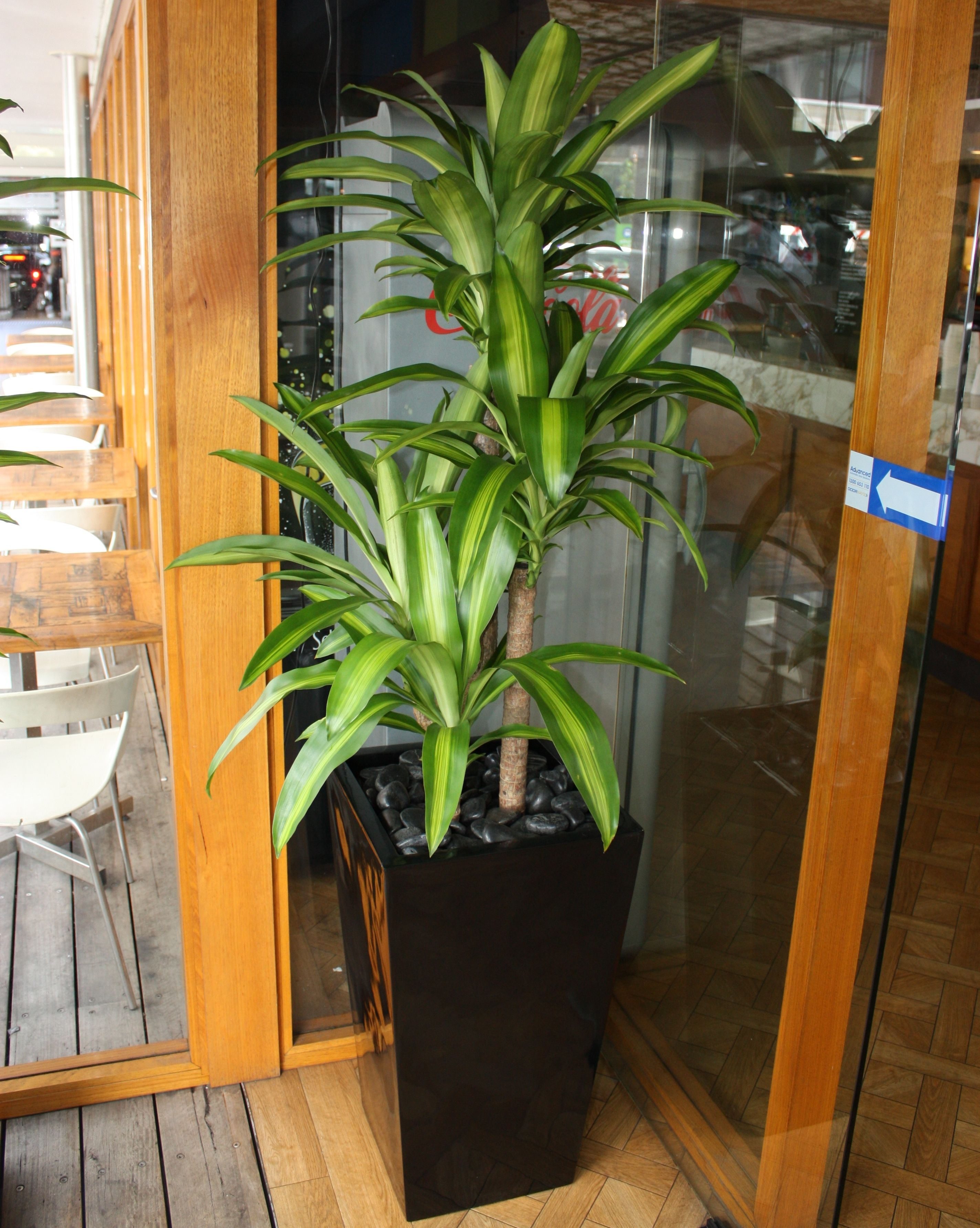 Decorating Dracaena Fragrans Massangeana Corn Plantindoor
