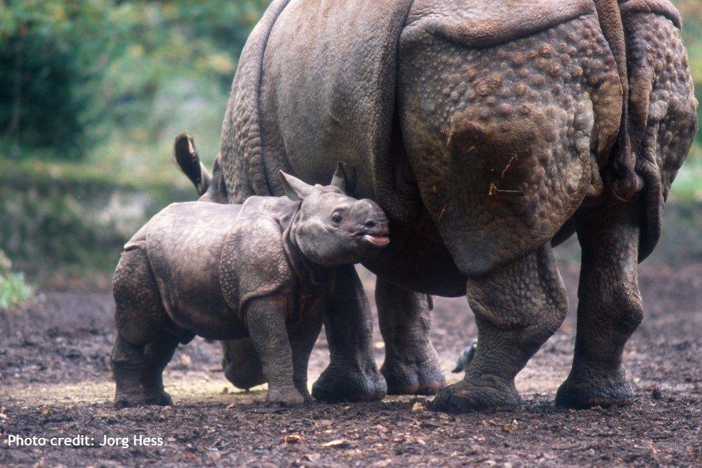 Female Greater one-horned rhinos may begin breeding at 4 ...