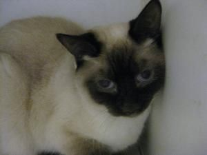 Adopt Bella On Cats And Kittens Humane Society Siamese Cats