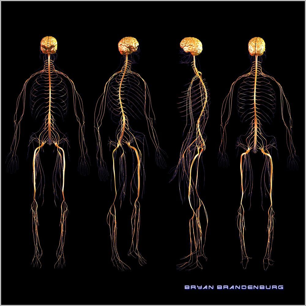 3d nervous system by bryan brandenburg [ 1000 x 1000 Pixel ]