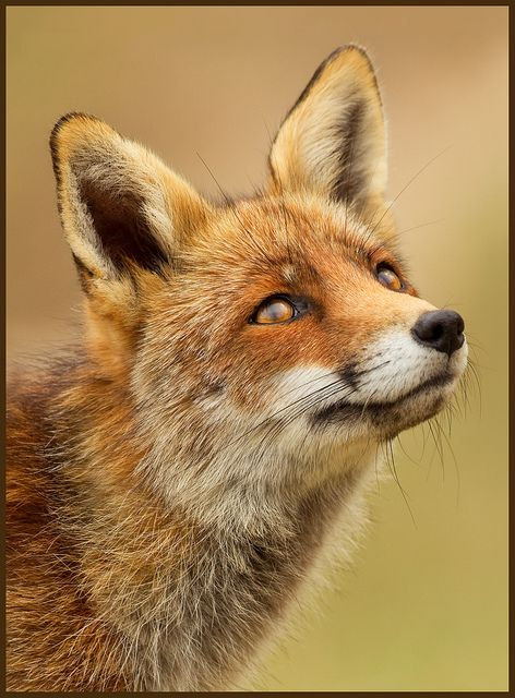 Ever I Saw Your Face Animals Wild Pet Fox Animal Photography