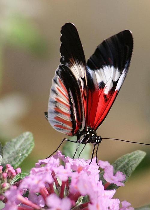 Butterfly Elegance Greeting Card by VALIA BRADSHAW