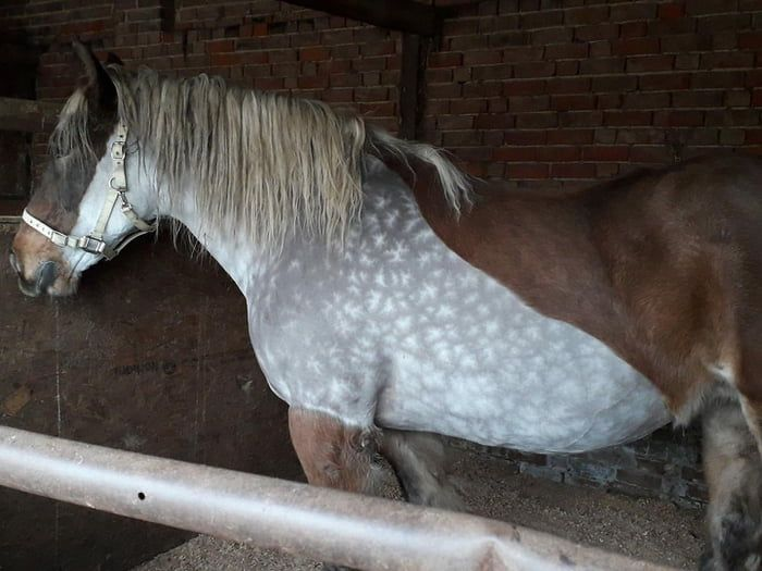 This horses exterior coat is bay but when clipped it is dappled grey and looks like snowflakes. This colour is known as Silver Dapple Bay.