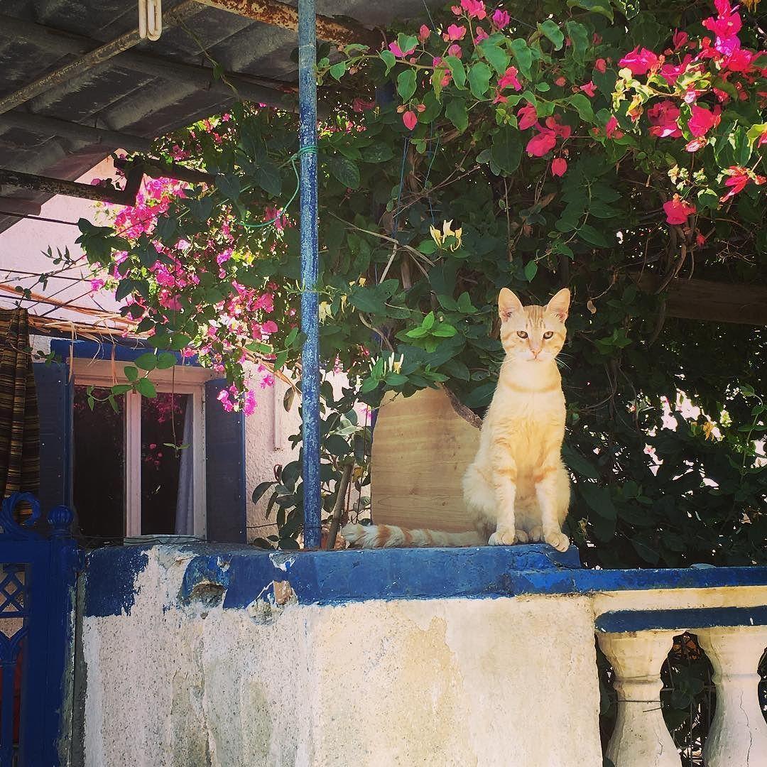 サントリーニ島猫ニャー #travel #greece  #cyclades #santorini #cat #catstagram #walkingaround by michiyo_333 http://www.australiaunwrapped.com/