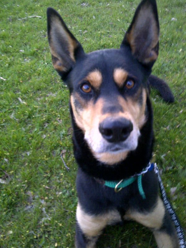 Doberman Husky Mix And Master Of The Goofball Domain With Images