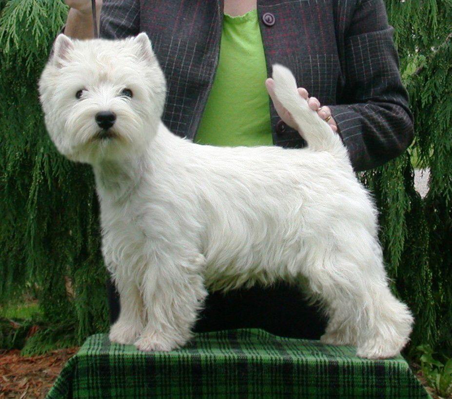 West Highland Terrier Champion Breeders Westie West Highland