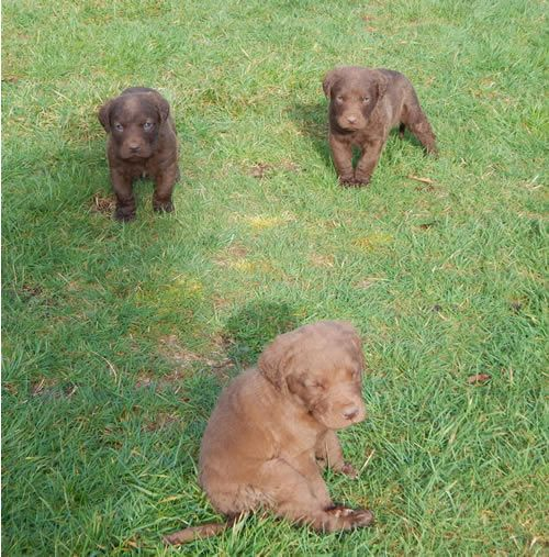 Akc Chesapeake Bay Retriever Puppies For Sale Washington State