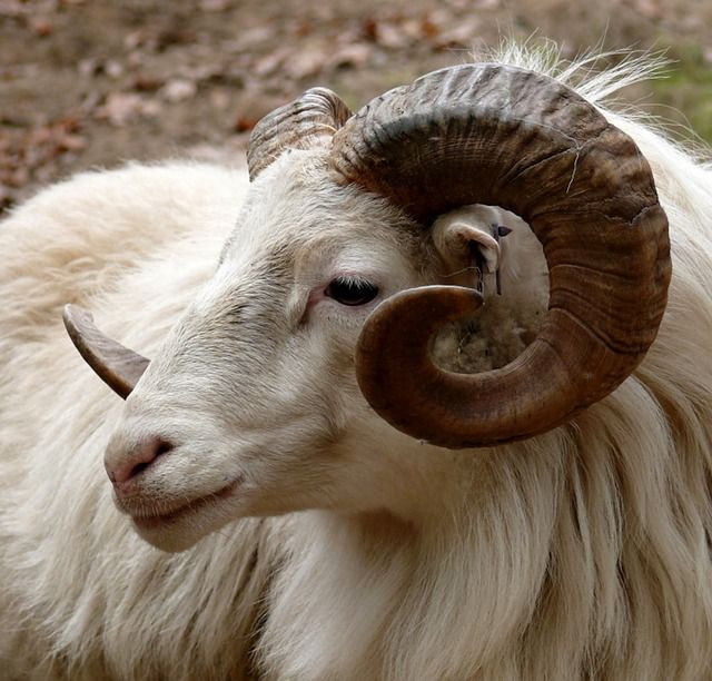 ram dier - google zoeken | ram - animals, goats en sheep