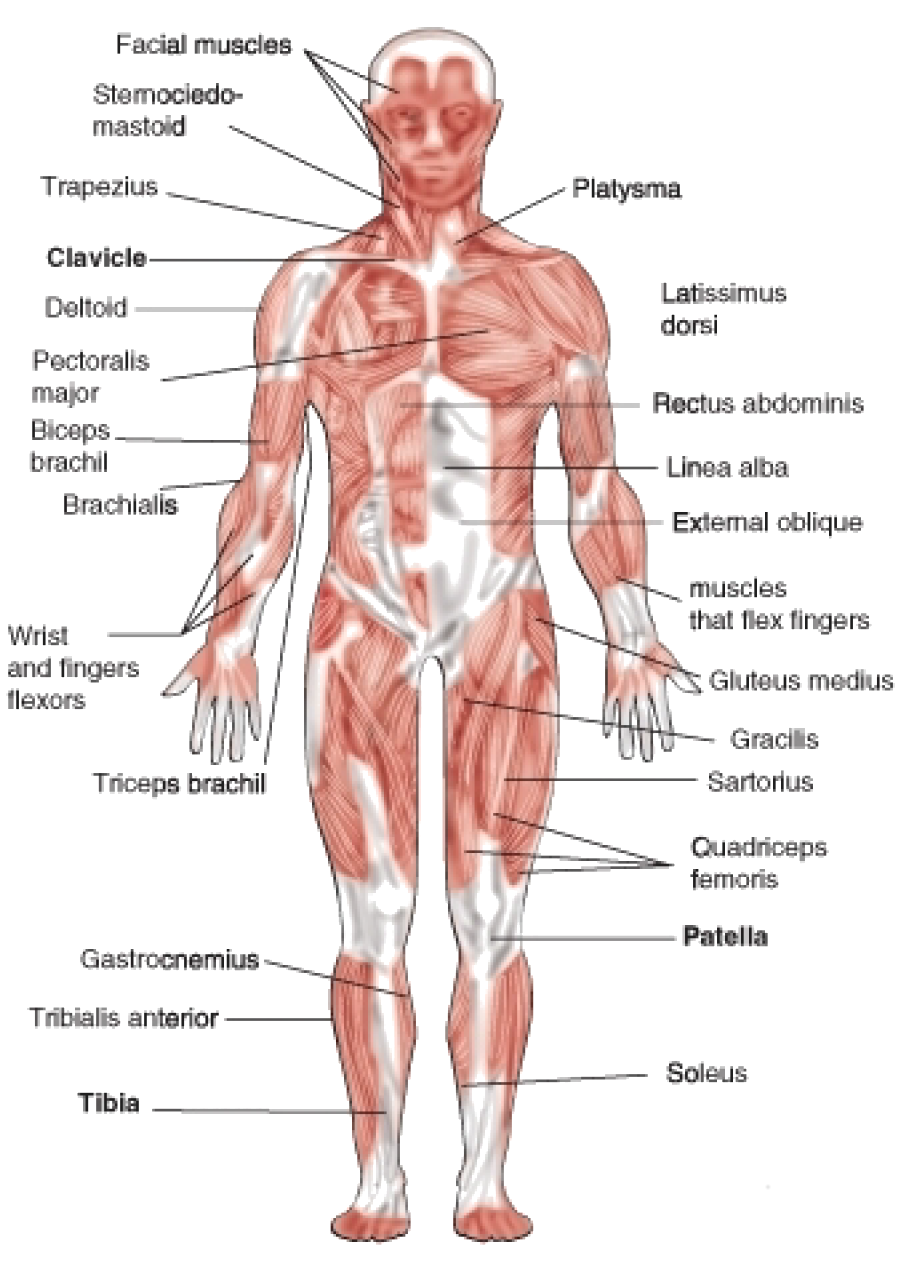 The Muscular System Is Composed Of Approximately 600 Muscles | Yoga ...