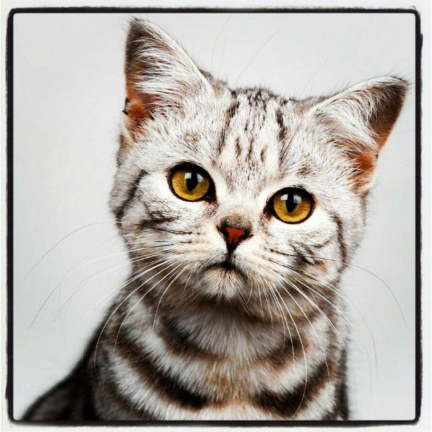 Too nice American shorthair cat, Cat breeds, Tabby cat