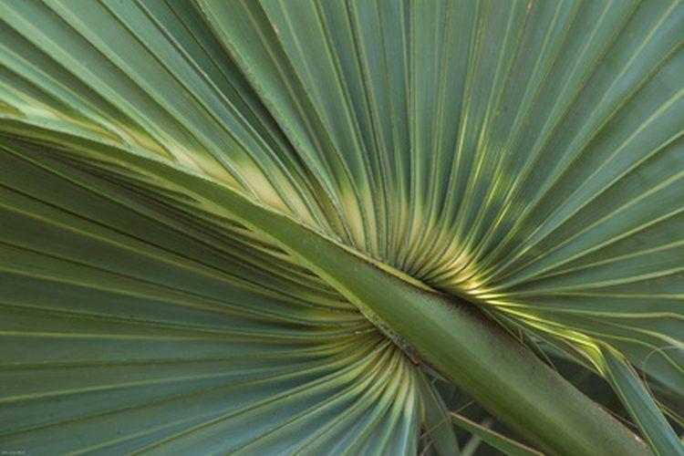 Beneficios de la palma enana americana para la mujer