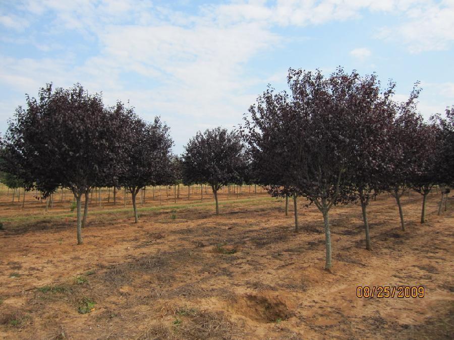 Prunus cerasifera 'Thundercloud' - Rohr's Nursery - Massillon, Ohio