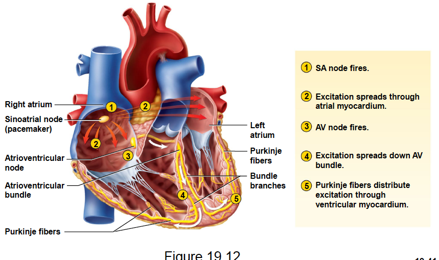 Hearts Conduction System In Order Cardiac Conduction System