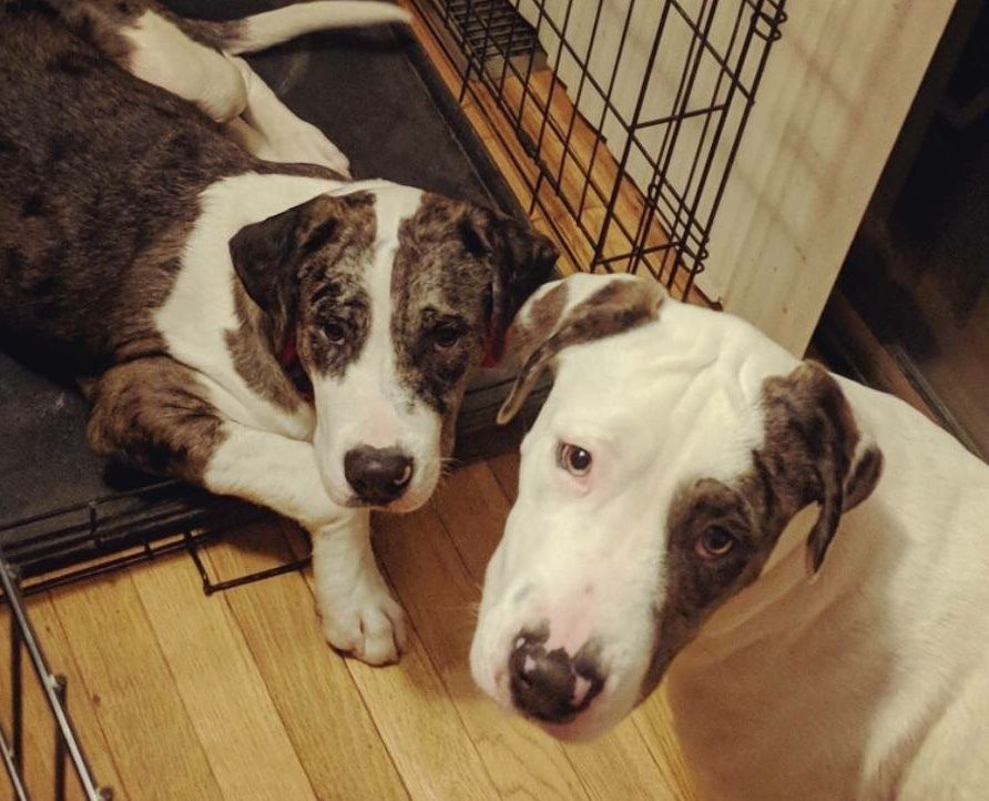 Adopt Marco Polo Bonded Pair On Petfinder Great Dane Great Dane Dogs Doggie Style
