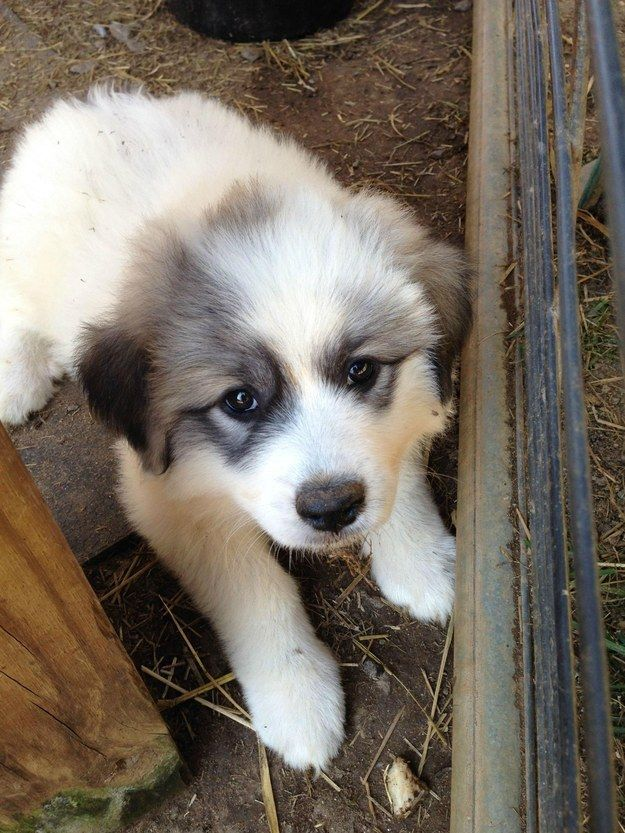 Great Pyrenees All Creatures Great And Small Puppies Dogs Dog