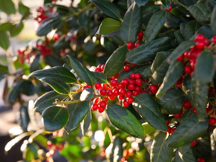 Nellie R Stevens Holly Dallas Texas Treeland Nursery Trees To Plant Accent Trees Garden Inspiration