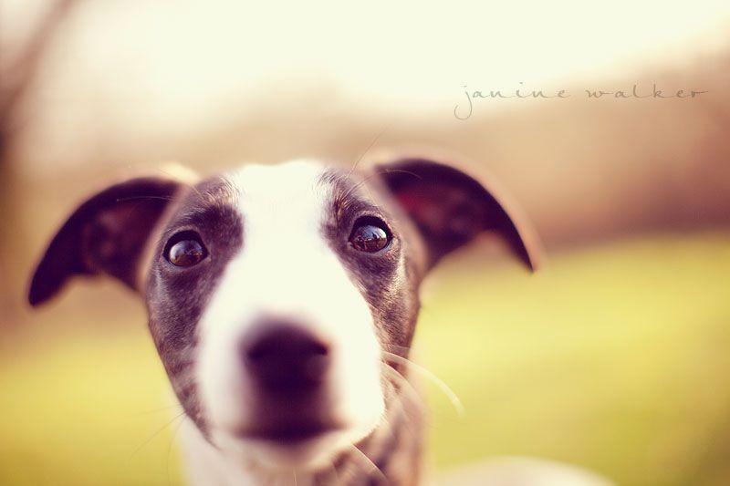 beautiful whippet eyes