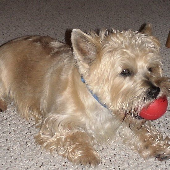Simple Cairn Terrier Ball Adorable Dog - c2d84bbf19c08a0097e3d41dd2556c0d  Graphic_383466  .jpg
