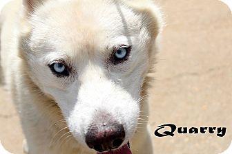 Urgent Texarkana Ar Samoyed Husky Mix Meet Quarry A Dog For