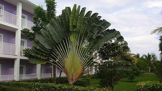 Peacock Fan Palm Tree Trees Pinterest Fan Palm