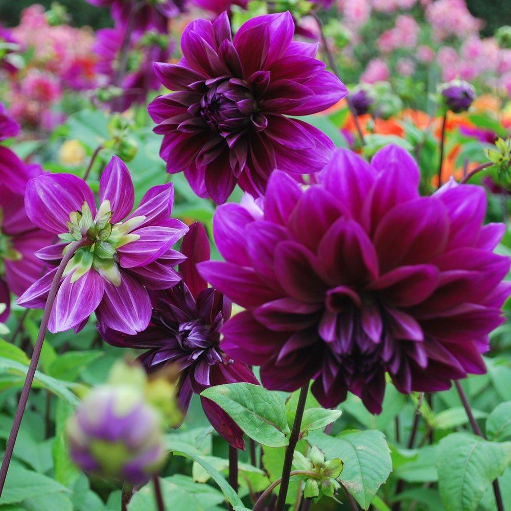 Dahlia thomas a edison rose cottage plants purple perennials dahlia thomas a edison rose cottage plants izmirmasajfo
