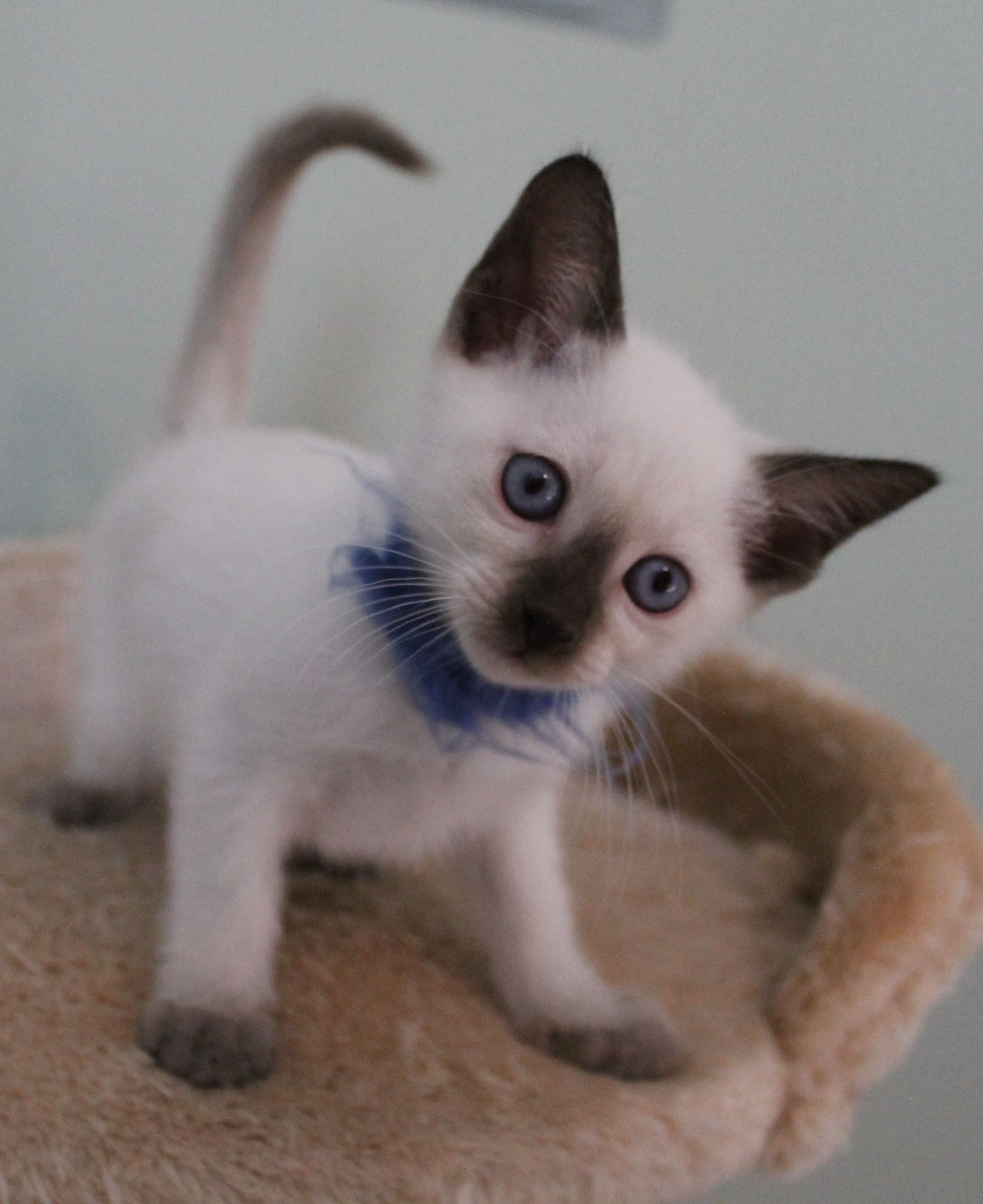Violet Point Siamese Cats - HD Photos Gallery | Siamese Cats ...