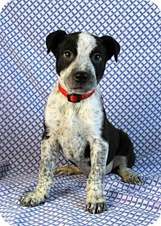 Cactus Adopted Puppy Westminster Co Blue Heeler German