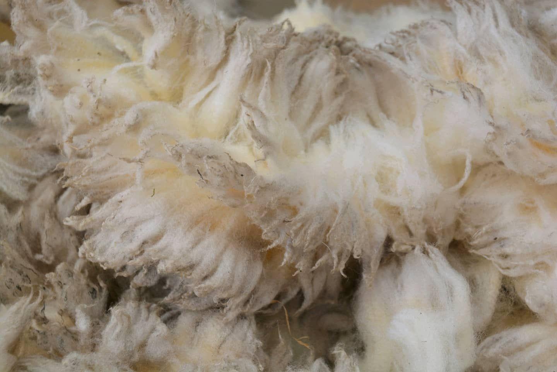 Dutch White Texelaar raw wool. Semi intact. 1.7 kg / 3.7 lb  #FiberCraft #wool #fiber #fibercraft #weaversofinstagram #fiberart #igweavers #igspinners #feltersofinstagram #cardingbatts #texelaar #dutchwool #spinnersofinstagram #rawwool #sheepwool  #outfy @outfyinc