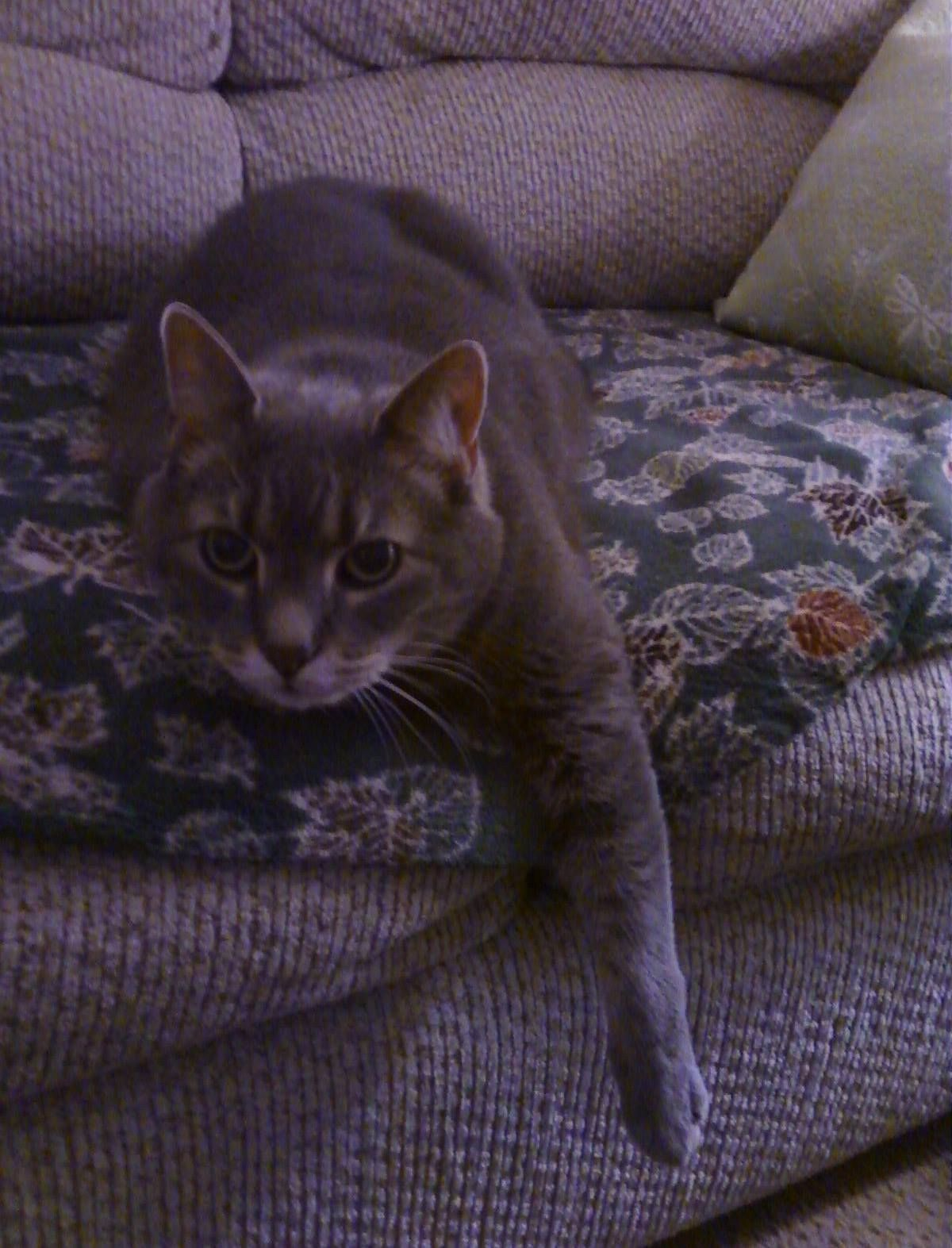 Pin by Sharon Boulanger on Lost Cats CT Cats, Pets, Dogs