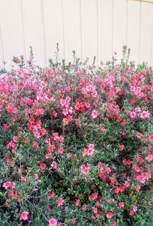 Azaleas beautiful flowers garden ranch landscaping