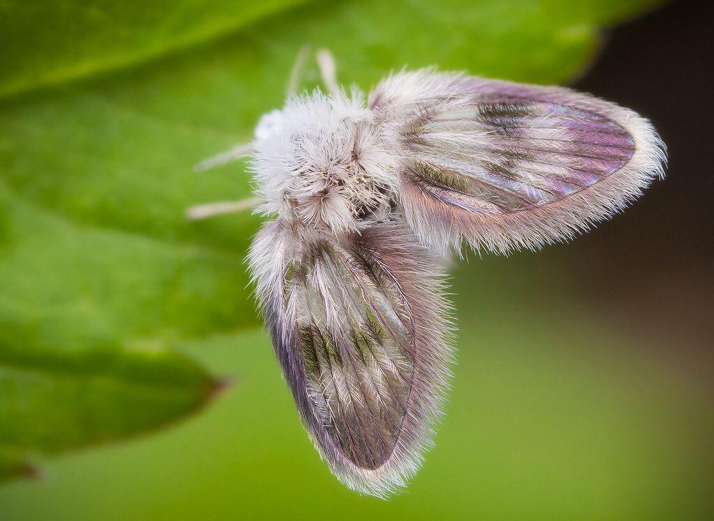 Moth Fly Motte Insekten