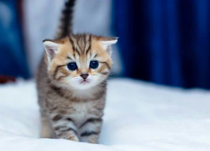 Gold Tabby Scottish Fold Kitten Straight Eared Scottish Fold Kittens Cat Scottish Fold Scottish Fold