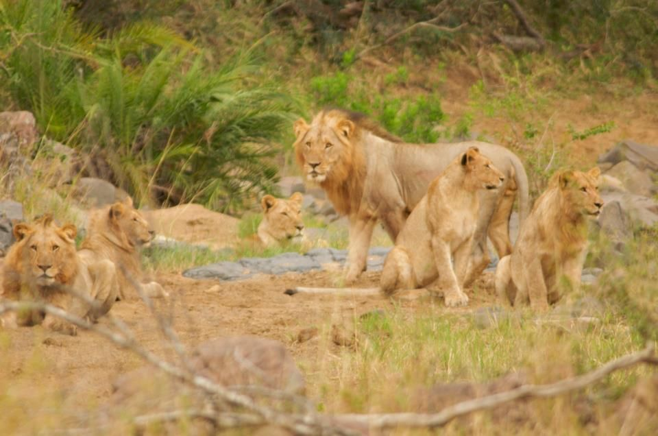 In Hluhluwe Np Capturing 6 Of The 11 Lion In The Pride Zooming In With Every Bit Of 500mm Lion Lion Sculpture Africa