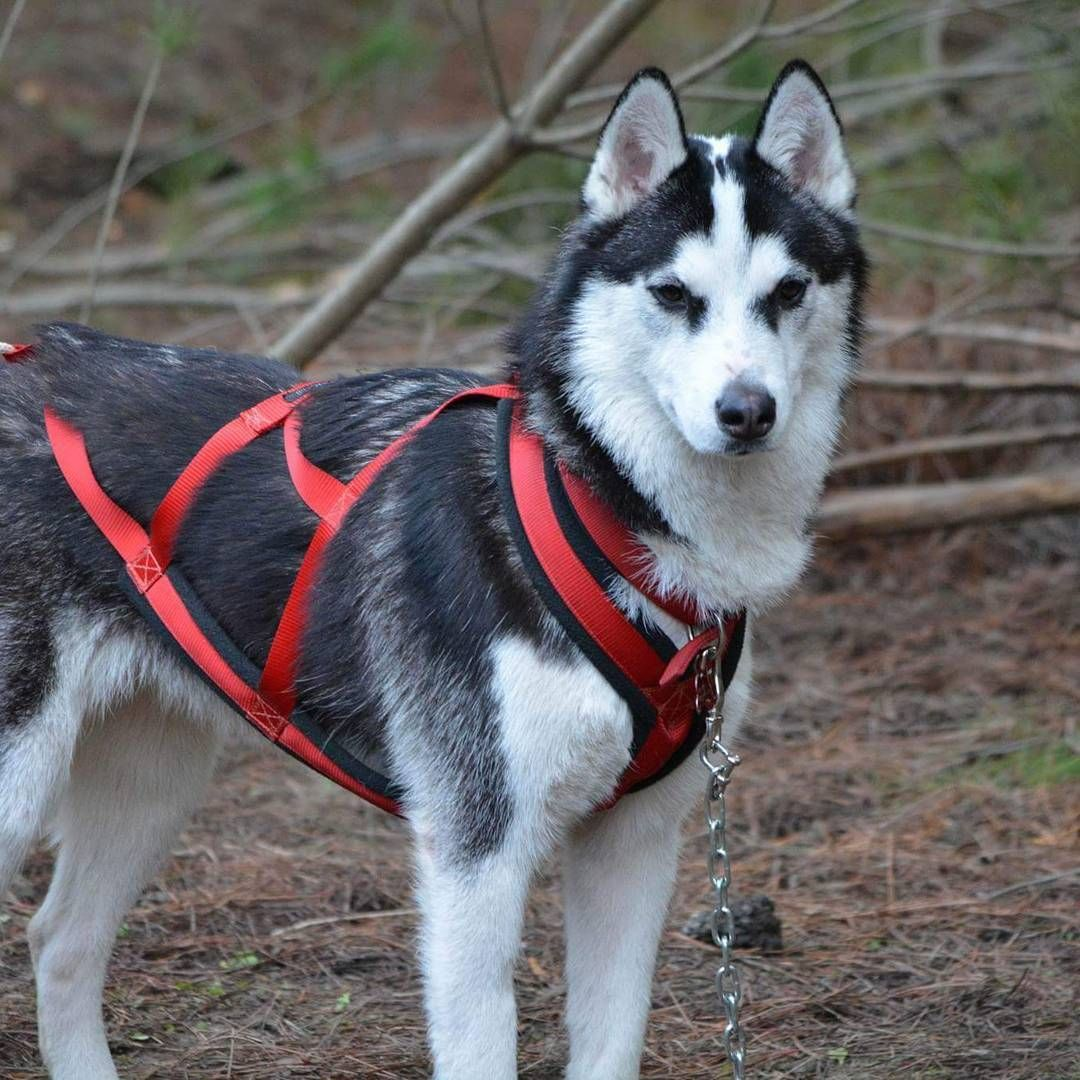 How To Train Your Dog To Pull A Sled Rover Com Dog Mushing