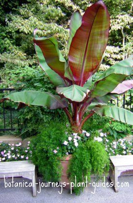 A Red Banana Sharing Pot With Asparagus Sprengeri And Vinca This Is An Ornamental Plant Beautiful Reddish Leaves Burgundy Leaf Stalks
