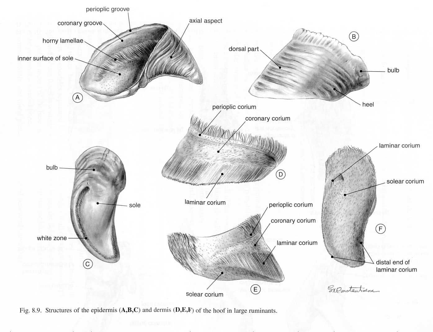 Ox Hoof Structures Similar To Goat Caprine Structures