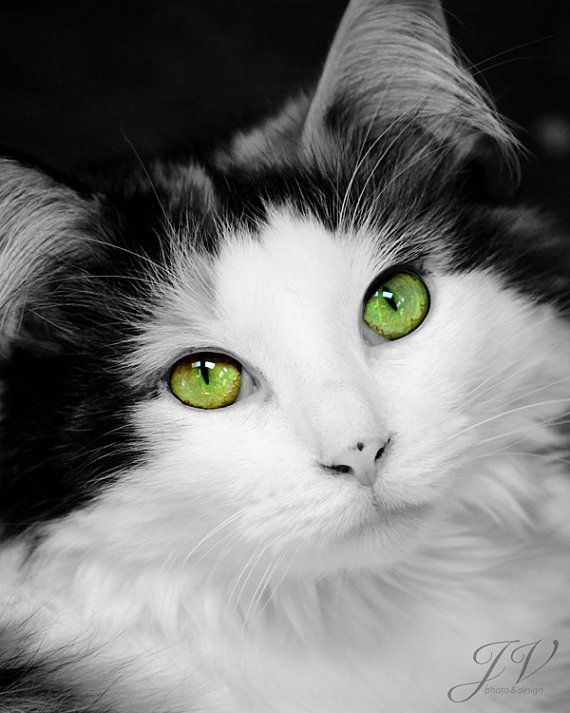 Pet Photography Green Eyed Cat Portrait Black and by DesignByJV, $8.00