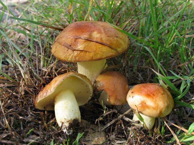Картинки грибов Беларуси с названиями (35 картинок) ⭐ Юмор ...