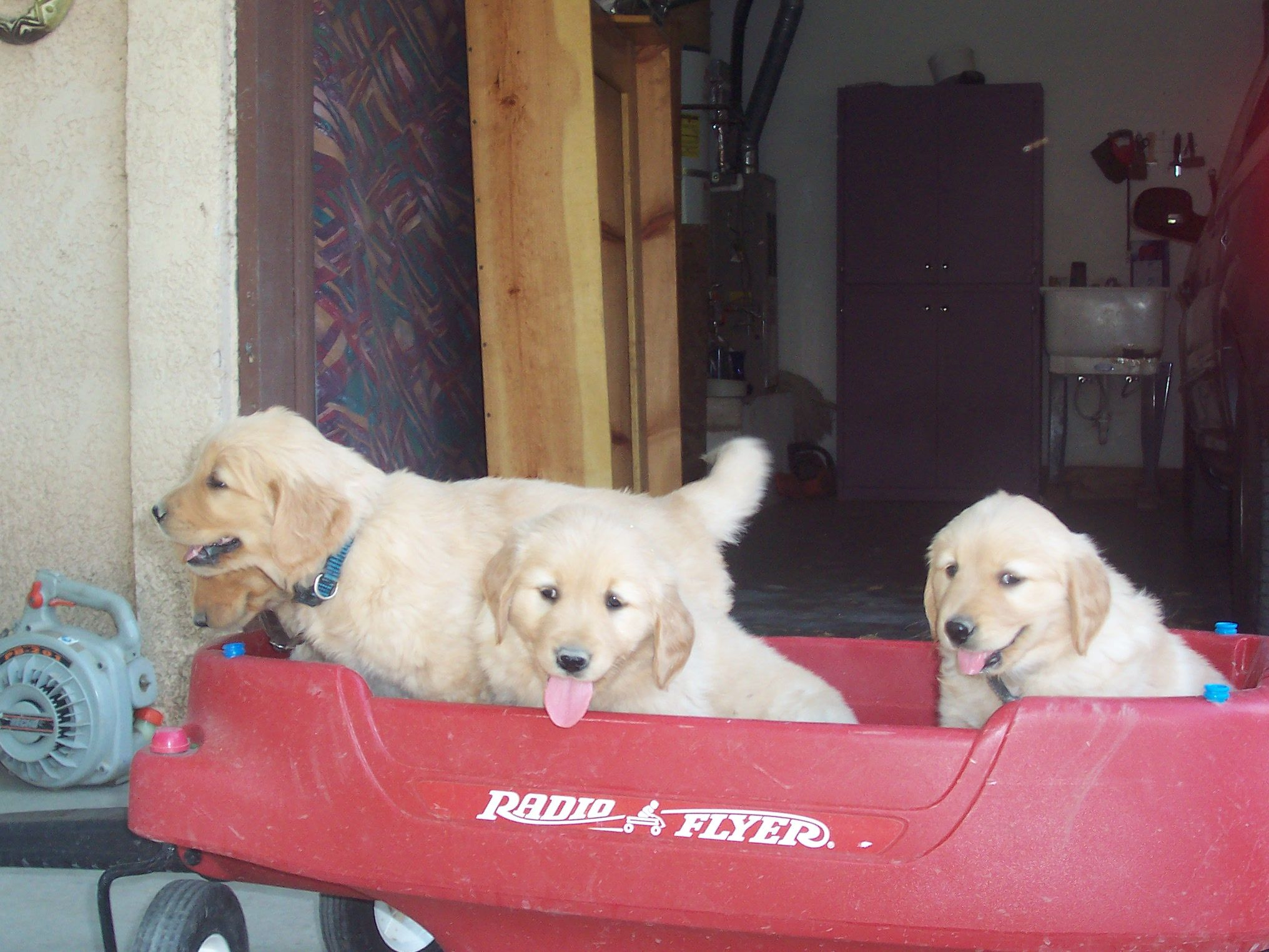 Nacimiento Golden Dog Kennel Contact Us With Images Dog