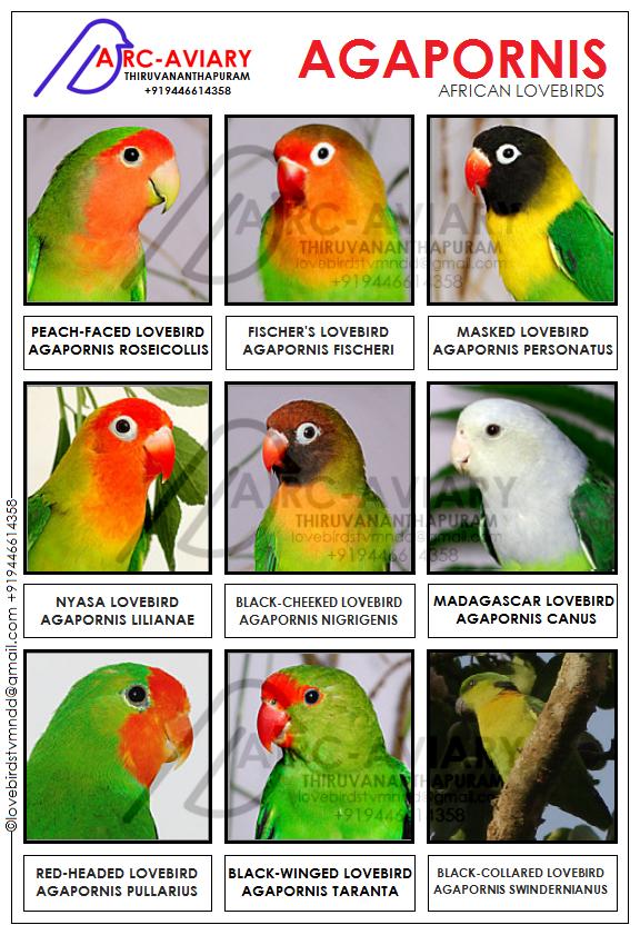 Akhilchandrika Agapornis African Lovebirds African Lovebirds Love Birds Pet Bird Breeds